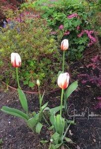 WM-Tulips-CanadaTulips