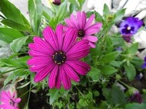 WM-PurpleDaisies-1