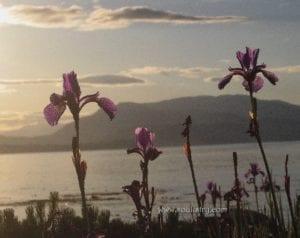 WM-Irises